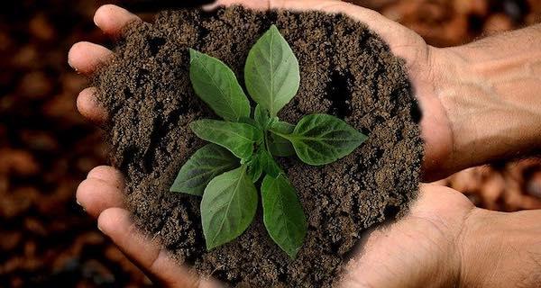 semilla germinando